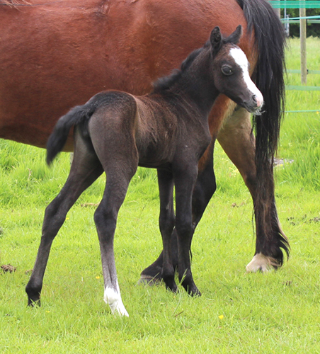 Sunwillow filly